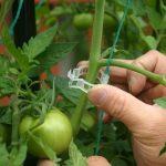 杠六九西红柿的特点与辨别