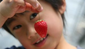 青岛甜宝草莓采摘